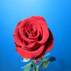 Natural rose flower