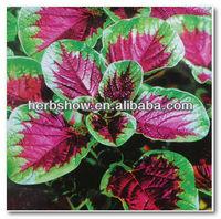 Red Leaf Amaranth Seeds for sowing vegetable seeds fast growing