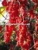 Schizandra Extract Powder schisandrins