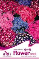 Free Shipping 1 Pack 30 Seeds Senecio Cruentus Garden Flower Cineraria Flowers Seeds Mixed Colors Purple Stamens HOT A079