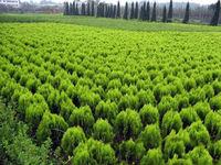 25 Dragon juniper Seeds Juniperus chinensis cv. kaizuka seeds Home Garden  Backyard Precious HEIRLOOM FREE SHIPPING