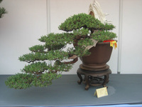 3 Bonsai short cedar tree Seeds DIY Home Garden Backyard Precious FREE SHIPPING