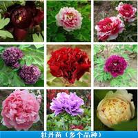 Free shipping Flower seedling seed peony seeds 25 type