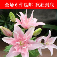 imported from Holland perfume lily ball hydroponic plants lily bulbs Lily flower seeds beaufiful flower