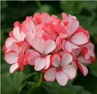 Free shipping Flower seeds pink Hydrangea evergreen woody flowering long Hydrangea