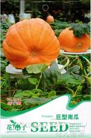 1 Pack 5 Seed, Giant Pumpkin Seed