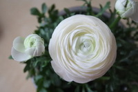Free Shipping 20 Ranunculus asiaticus seeds,Persian Ranunculus flower seed a078