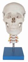 2013 Hot sale Human New Skull Model on Cervical Spine,skeleton model 4 part