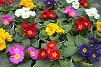 Free Shipping 50 European primrose Seeds ,Primula Malacoides flower a080