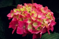Free shipping red Flower seeds Hydrangea seeds Viburnum macrocephalum seed