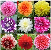 Two Original Packs ,One pack is about 50 seeds Dahlias Seeds for DIY Home Garden IZ017 Wholesale by free shipping