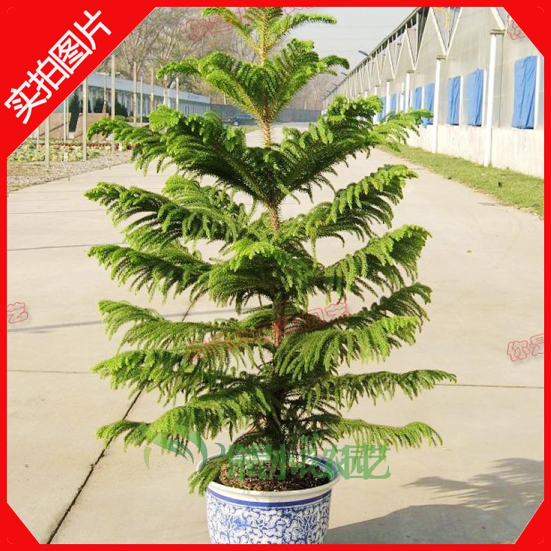 Types of indoor trees large indoor bonsai plants