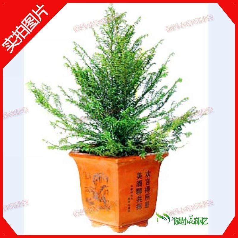 Large indoor bonsai plants flower bonsai christmas tree formaldehyde