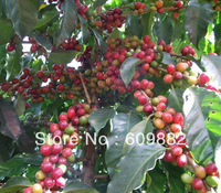 80 pcs Fresh Coffee Beans seeds,hot sale balcony fruit seeds,grow your own coffee ,80 pcs/lot