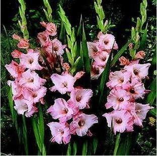 Bulbs bulbs gladiolus flat bamboo red white