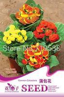 Bonsai seeds - calceolaria fancy 30 a150 flowerier
