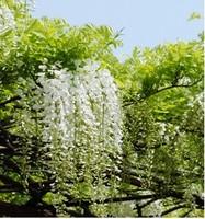 35pcs/bag hot selling White Wisteria Flower Seeds for DIY home garden