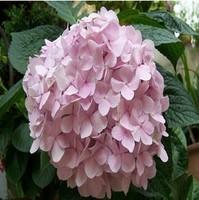 PINK Flower seeds Hydrangea seeds Viburnum macrocephalum seed Free shipping