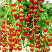 50 pcs/bag red pear tomatoes vegetable seeds for DIY home garden Free shipping