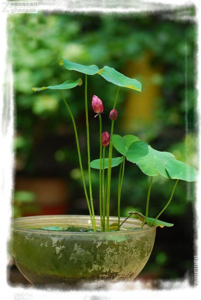 How to grow a lotus plant inside a home lotus how to for How to maintain garden plants