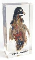 pigeon dissection Specimen