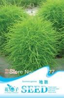 Free shipping 150 Kochia scoparia var seeds,,Hydrangea plant seeds,original pack seeds