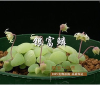 Health and stone flowers silver seeds New Zealand ice-plant novelty pet