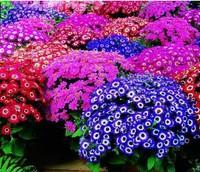 30pcs/bag mixed color florists cineraria seeds for DIY home garden A+