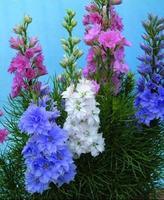 Free Shippping Mix Larkspur Doris Flower Seeds, Giant Imperial Flower Seeds, Fresh Seeds (30 Seeds) SD1425