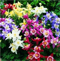 5 ORIGINAL PACKS 150 SEEDS MIX COLUMBINE ONLY 5$ COLUMBINE SEEDS AQUILEGIA VIRIDIFLORA FOR PLUS MYSTERIOUS GIFT FREE SHIPPING