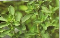 Free Shipping Stevia Seeds, Stevia Herb Seeds, New Live Fresh Seeds, Guaranteed 90%+ Germination (100 Seeds) SD1561