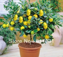 Hot selling 10pcs Lemon Tree seeds fruit seeds bonsai plant DIY home garden free shipping(China (Mainland))