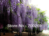 Wholesale - - 20 seeds Blue Chinese Wisteria Vine, Wisteria sinensis, Flower Seeds tree (Fast, Showy) SKU27*2