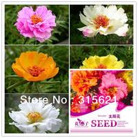 5 Original Packs Portulaca Grandiflora Flower Seeds 1000pcs Bonsai Garden Sun plant Seed With Gift Free shipping