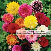 Mini Dahlia Pinnata (Mixed) Seed * 1 Pack ( 50 Seeds ) * Dwarf Dahlia * Dahlia variabilis * Dahlia zmienna * Flower *Half Hardy