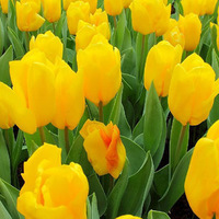 Free shipping Tulip bulbs seeped seeds new arrival