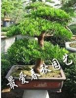 Podocarpus macrophyllus Tree Seed, Evergreen Shrubs, Beautiful, atmospheric, 55 Seeds A++