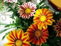 1 Pack 250 Seed beautiful Gazania Flower seeds Free Shipping