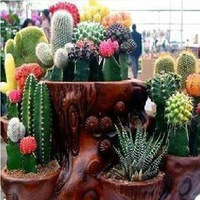 1 ORIGINAL PACKS 200 SEEDS COLOR CACTUS ONLY $5 PERENNIAL PALNTS PLUS MYSTERIOUS GIFT FREE SHIPPING