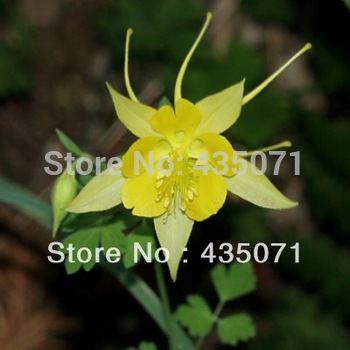 Heirloom 400 Seeds / bag Aquilegia Columbine Perennial Yellow Giant Star Flower Bulk Seeds