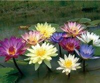 30pcs/bag water lily lotus seeds DIY home garden free shipping