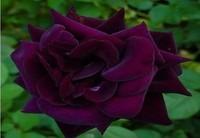 Free Shipping 400 Seeds China Louis Xiv rose seeds Rose Flower seeds