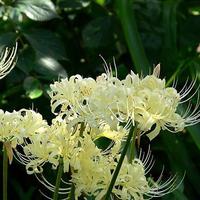 Free shipping High quality Teal seeds Teal amaryllis bulbs flower seeds