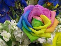 Rainbow Rose Seeds - Rainbow color **40 seeds per package**flower seeds home gardening