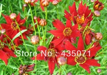 Heirloom Coreopsis Basalis Tickseed Dahlia Mar Red Dwarf 1500 Flor granel sementes / saco(Hong Kong)