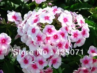 Heirloom 250 Seeds / bag Phlox Drummondii California Mountain Linanthus Garden Flower Mix Seeds