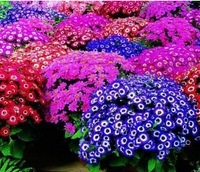 30pcs/bag mixed color florists cineraria seeds for DIY home garden #