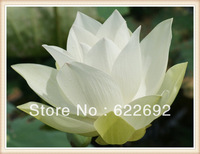 New Mature 'White Crane' Nelumbo Nucifera * Lotus Seeds * E-Z To Grow * With The Most Cheapest Price * Free Shipping