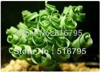 FREE SHIPPING ,KK Succulent  Bonsai  seed  Albucanamaquensis   Spring grass