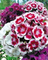 Free Shipping Dianthus Seeds, Globular Flower Seeds (Perennial) (4000 Seeds) SD1500-0267